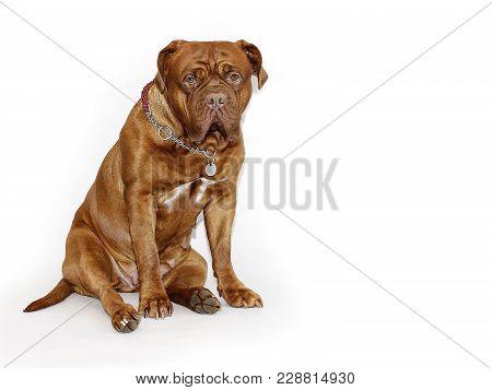 Beautiful Big Dog - Dogue De Bordeaux - French Mastiff