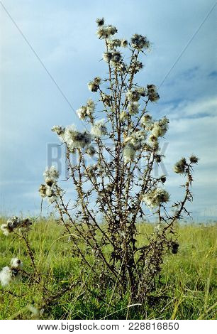 Weed Prickly Plant Saxaul In The Steppe