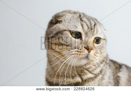 A Sad But Cute Scottish Lop-eared Cat Sits On A White Insulator. Place For Text.