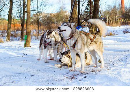Sled Dogs Siberian Husky Harnessed Sports Sledding