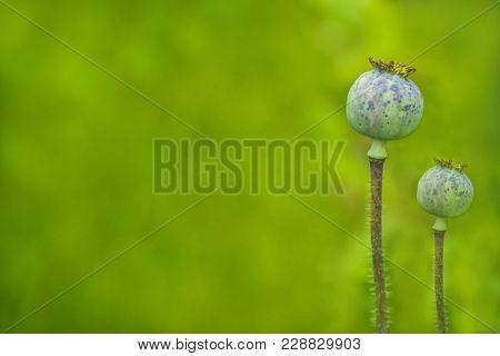 Opium Poppy. Unripe Green Poppies Growing In Garden