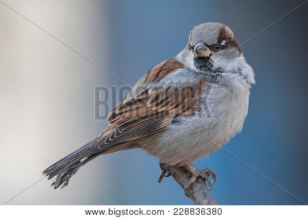 House Sparrow Male, Passer Domesticus, Passeridae, Sitting On The Branch And Posing, Against Bluish