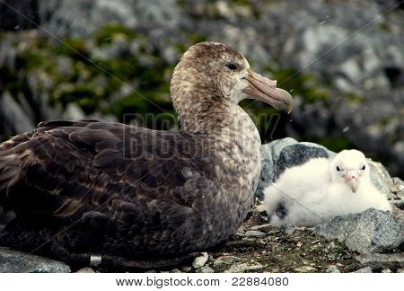 Antarctic Giant Petrel and chick nesting with green moss growing in background poster