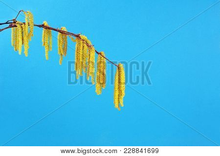 Yellow Flowering Hazel Isolated Over Blue Background