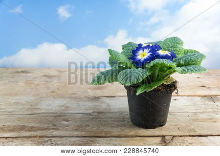 Blue White Primrose (primula Vulgaris Hybrid) Potted Spring Flower On A Rustic Wooden Table Against