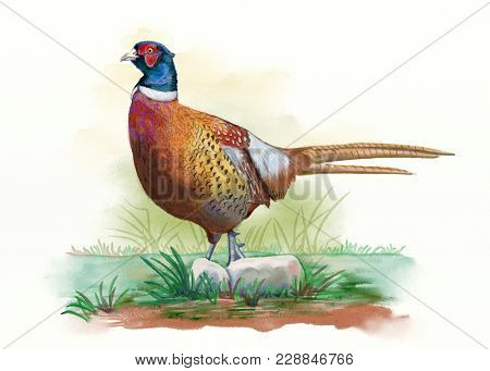 Male pheasant walking on a meadow. Digital watercolor.
