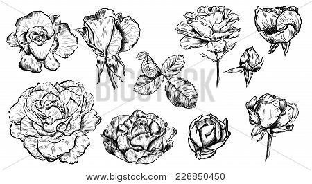 Great Collection Of Highly Detailed Hand Drawn Roses Isolated On White Background.
