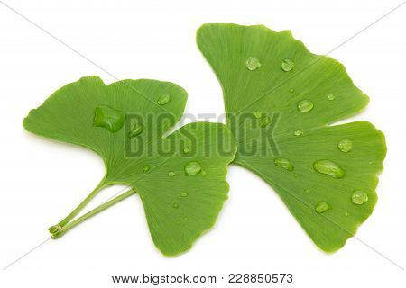 Two Fresh Ginkgo Leaves With Water Drops Isolated On White