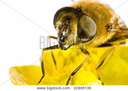 Bee On Yellow Flower In Extreme Close Up