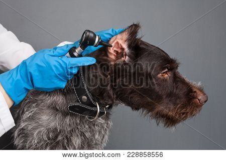 Hands Of Vet Examining Ear Of Dog With Otoscope In Vet Clinic