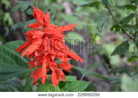Salvia. Salvia Splendens. Flower Red. Heat-loving Plants. Annual Plant. Beautiful Flower. Garden. Fl