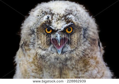 Long-eared Owl Baby, Asio Otus, Is A Species Which Is A Part Of The Larger Grouping Typical Owls, Fa