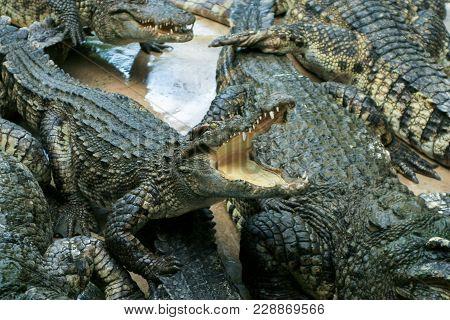 Crocodile Farm. Feeding Crocodiles Chicken, Crocodile With Open Mouth