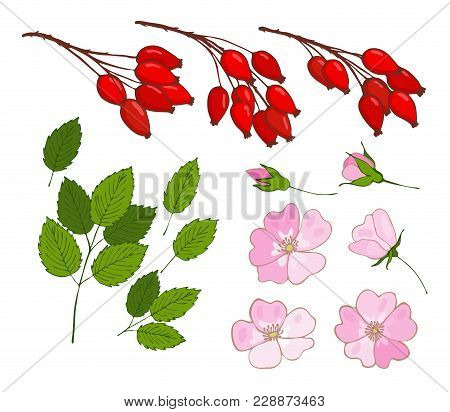 A Set Of Dog-rose. Set Of Isolated Berries, Flowers And Leaves Rosa Canina. Vector