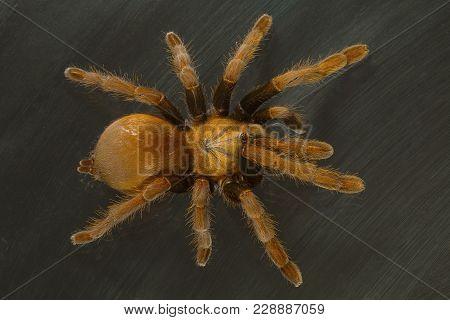 The Mustard Tarantula, Thrigmopoeus Insignis Lives In Large Tubular Burrows In Western Ghats. Goa, I