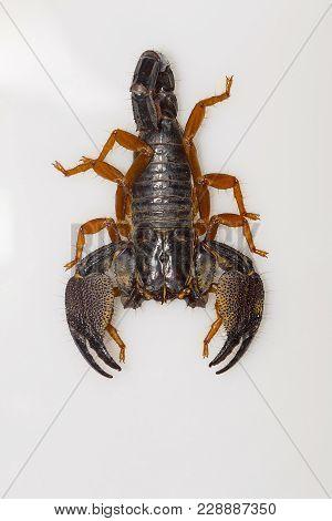 A Large Burrowing Scorpion Of The Genus Heterometrus From Kanger Ghati National Park, Bastar Distric