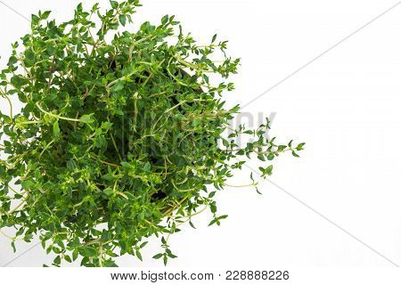 Fresh Thyme Herb Grow In Vase. Fresh Organic Flavoring Thyme Plants Growing. Nature Healthy Flavorin