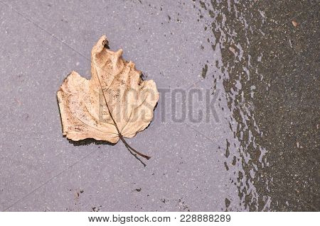Wet Dark Asphalt. Large Yellow Dry Autumn Leaf.