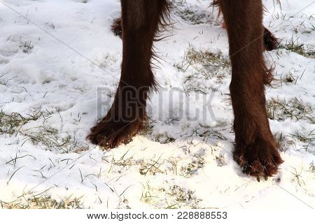 A Dogs Paw Standing In The Snow, Outdoor Close Up Shot, Focused On Nearest Paw
