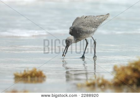 A willet bird from Padre Island National Seashore combs the beach while feeding. poster