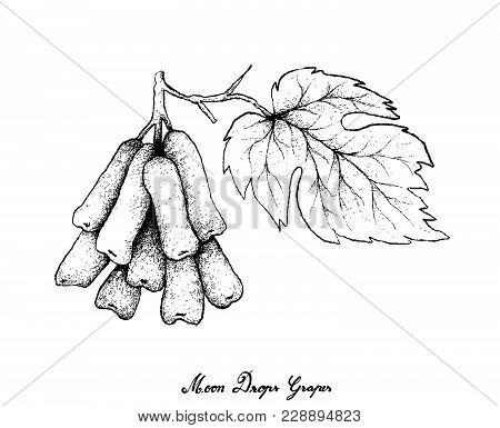 Berry Fruits, Illustration Of Hand Drawn Sketch Bunch Of Fresh Longated Black Grapes, Moon Drops Gra