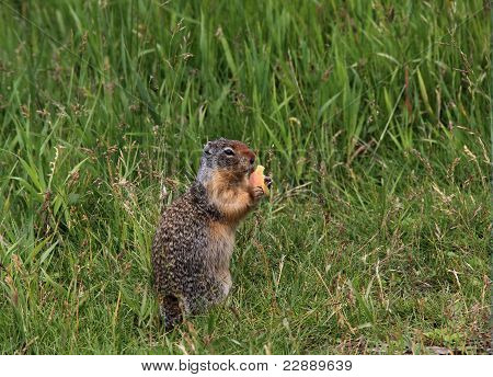 A cute ground squirrel enjoys some food while standing in the grass. poster