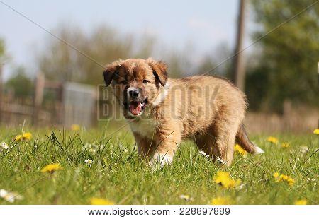 Brown Border Collie Puppy Is Walking In The Garden In Spring Flowers