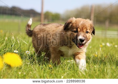 Brown Border Collie Puppy Is Walking In The Garden With Spring Flowers