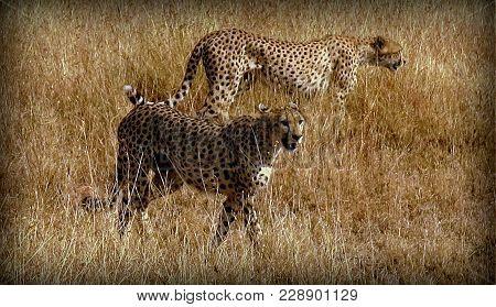 A Couple Of Cheetahs In The Sabana