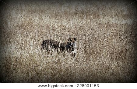Cheetah In The Sabana Of Africa, Tanzania