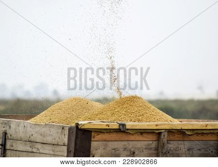 Unloading Screw A Combine Harvester. Unloading Grain From A Combine Harvester Into A Truck Body. Ric