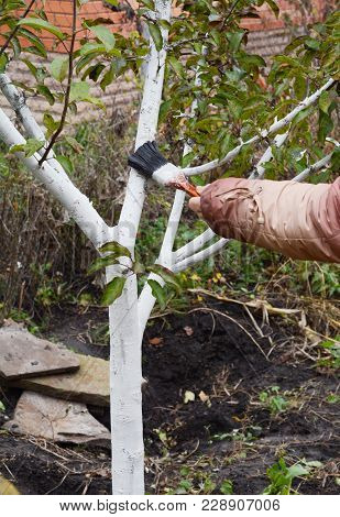Gardener Hand Whitewashing Fruit Tree. White Color Prevents The Bark From Heating Too Much Under The