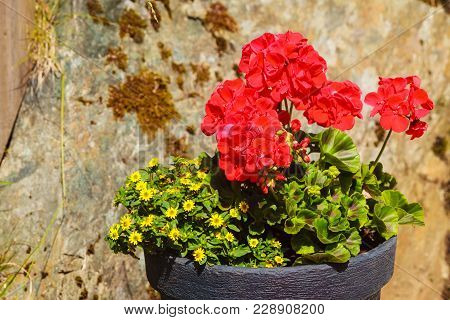 Pots With Colorful Many Flowers. Beauty Of Botany And Nature Floral Concept.