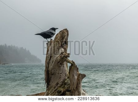 A Crow Sits On A Piece Of Driftwood On A Windy Day.