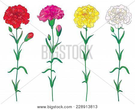Vector Set With Outline Red, Pink, Pastel White And Yellow Carnation Or Clove Flower, Bud And Leaf I