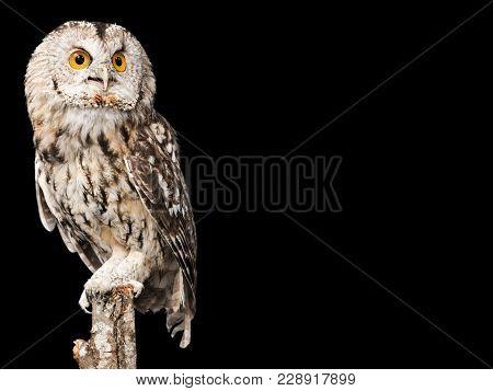 One Animal Studio Shot Animal Themes Wild Animal Owl Eyes Background Isolated