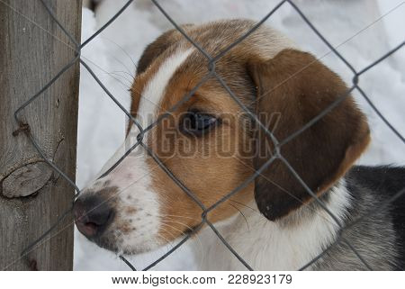 A Puppy Of A Russian Peggy Hound (english Foxhound) Sits Behind A Net In An Enclosure. Close-up Port