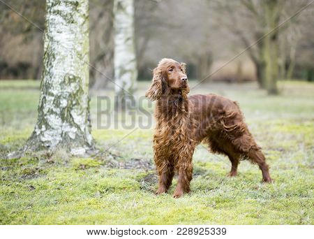 Beautiful Young Irish Setter Dog Standing In The Park
