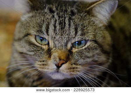 Cat Eyes - Intelligent, Perceptive And Understanding Look Of Wise Old Catman