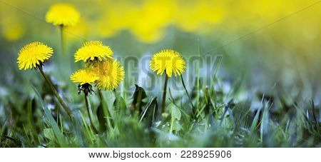 Yellow Dandelion Flowers - Happy Life Coaching, Motivation Banner With Copy Space
