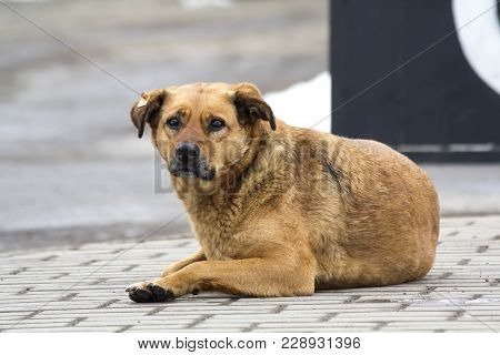 Sad Yellow Dog In Expectation Of The Owner. Portrait Of A Pet Laying On The Ground Outdoors. Homeles