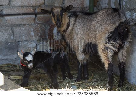 She-goat And Kid In The Shed. There Is A Limestone Wall.
