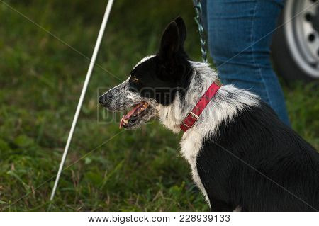 Stock Dog Waits With Shepherd For Turn - At Sheep Dog Herding Trials