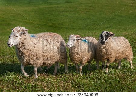 Four Sheep (ovis Aries) - At Sheep Dog Herding Trials