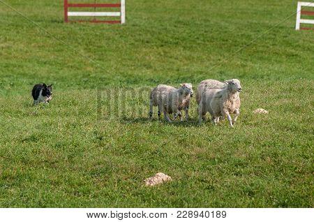 Stock Dog Runs Sheep (ovis Aries) Through Herding Course - At Sheep Dog Herding Trials