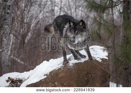 Black Phase Grey Wolf (canis Lupus) Leaps Off Rock - Captive Animal