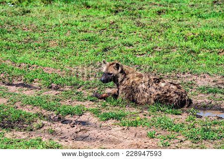 Spotted Hyena Or Crocuta Is Having Rest In Savanna