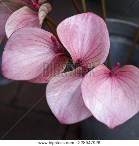 Red Calla , Bog Arum, Marsh Calla, Wild Calla, And Water Arum, Is A Genus Of Flowering Plant In The
