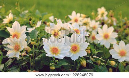 Dahlia White Flowers Outdoors Flowerbed Solar Rays