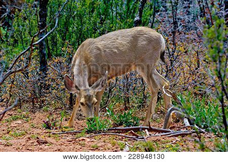 A Female Mule Deer Grazing On Some Leafy Plants In The Kaibab Forest Near The Grand Canyon In Arizon